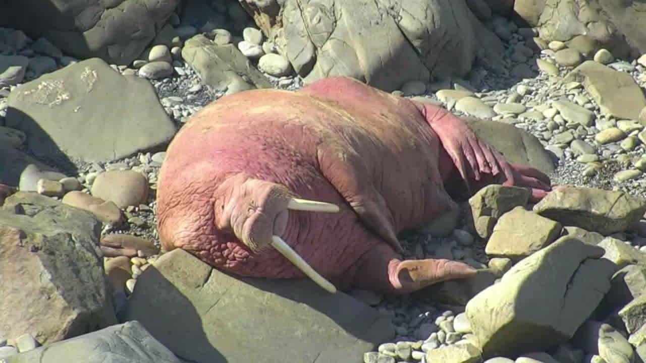 Round Top: Walrus Cam