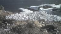 unknown: Gentoo Penguins - Recent