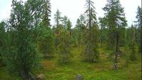 Ruka › East: Northern Ostrobothnia - forest, trees - Dia