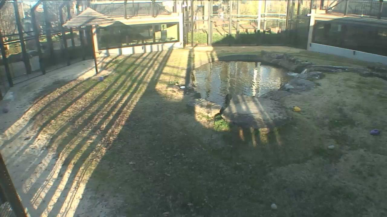 Webkamera Florence: George H. Carroll Lion Habitat