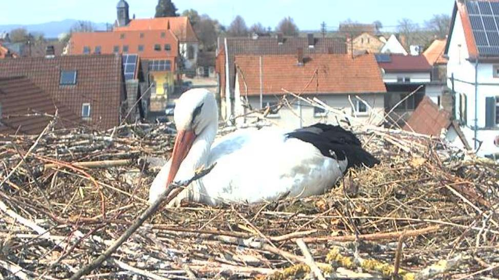 Webkamera Bornheim: Storchenkamera − Pfalz